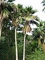 Pritchardia maideniana (5643809143).jpg