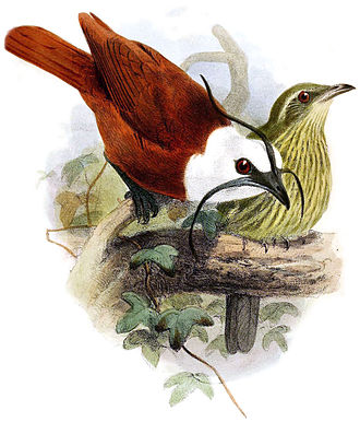 Three-wattled bellbird - male (left) and female (right)
