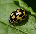 Propylea quatuordecimpunctata (14-spot Ladybird) - Flickr - S. Rae (10).jpg