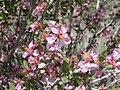 Prunus andersonii (5069725010).jpg