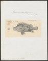 Psammoperca waigiensis - 1825-1838 - Print - Iconographia Zoologica - Special Collections University of Amsterdam - UBA01 IZ12900092.tif