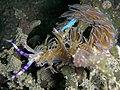 Pteraeolidia ianthina 008.jpg