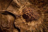 Pterocarpus dalbergioides.jpg