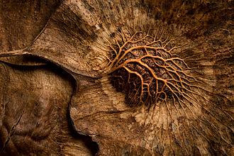 Pterocarpus dalbergioides - Image: Pterocarpus dalbergioides