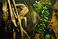 Pterophyllum altum at Berlin acquarium (2521455461).jpg