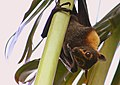 Pteropus conspicillatus face.jpg