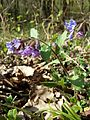 Pulmonaria officinalis (s. str.) sl1.jpg
