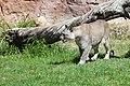 Puma concolor stanleyana - Texas Park - Lanzarote -PC01.jpg