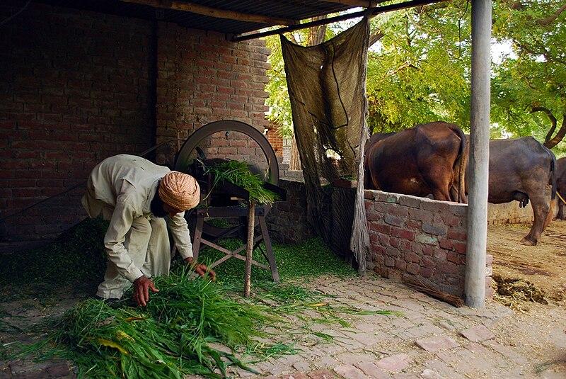 File:Punjabi farmer preparing cattle feed.jpg
