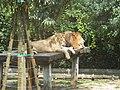 Punta Verde Panthera leo.jpg