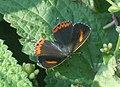 Purple Saphhire Female (6602134319).jpg