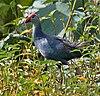 Purple Swamphen (Porphyrio poliocephalus) in Hyderabad, AP W IMG 7788
