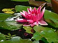 Purple Water Lily at Menacuddle Well.jpg