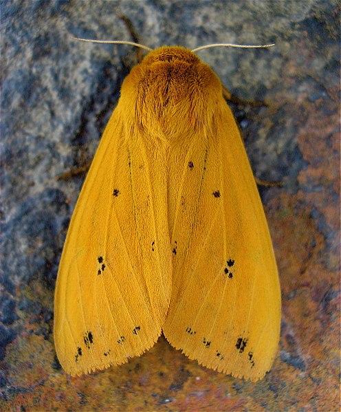 Isabella tiger moth (Pyrrhartia isabella)