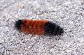 Pyrrharctia isabella - Caterpillar - Devonian Fossil Gorge - Iowa City - 2014-10-15 - image 6.jpg