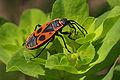 Pyrrhocoris-apterus 0084 S.jpg