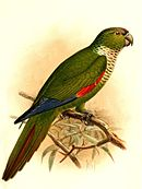 A green parrot with a white throat, red shoulders, blue-tipped wings, and a maroon forehead and tail
