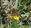 Queen of Spain Fritillary. Issoria lathonia - Flickr - gailhampshire.jpg