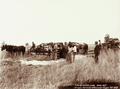 Queensland State Archives 2374 Horse drawn stripper harvester and winnower at Yangan 1899.png