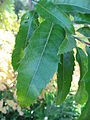 Quercus acutissima leaves 02 by Line1.JPG