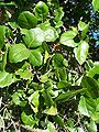 Quercus agrifolia-3.jpg