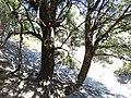 Quercus coccifera okazy drzewiaste.jpg
