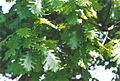 Quercus frainetto kew2.jpg