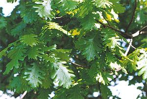 Quercus frainetto - Hungarian oak leaves, Kew Gardens.
