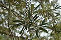 Quercus geminata (24117652336).jpg