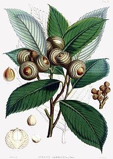 <i>Quercus lamellosa</i> species of plant