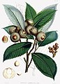 Quercus lamellosa.jpg