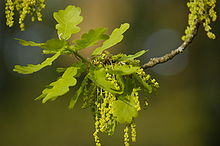 Quercus robur early flowers.jpg