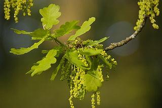 Dub letný - kvety a listy