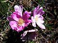 ROSA RUBIGINOSA - MONTSEC - IB-077 (Englantina roja).jpg