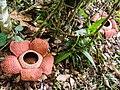 Rafflesia keithii (13890760365).jpg