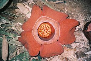 Carrion flower - Flower of Rafflesia kerrii, in Khao Sok National Park, Southern Thailand.