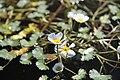 Ranunculus aquatilis in Vlkovska piskovna (9).JPG