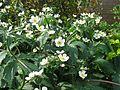 Ranunculus platanifolius - Flickr - peganum.jpg