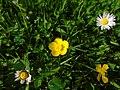 Ranunculus sp.001 - Ribadeo.jpg