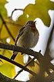 Red-breasted Flycatcher - Near Padova ( Veneto ) - Italy - CD5A9184 (30727310450).jpg