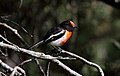 Red-capped Robin (Petroica goodenovii) (31274308622).jpg