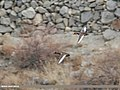 Red-crested Pochard (Netta rufina) (49305468177).jpg