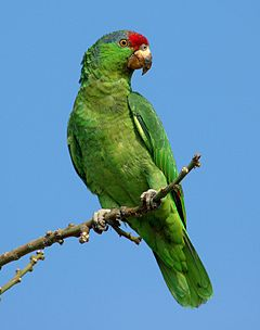 240px red crowned amazon