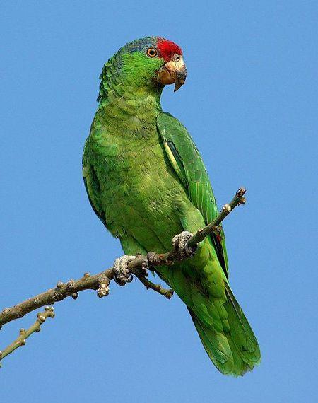 Amazona viridigenalis