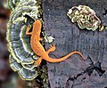 Red Eft From Above - Flickr - michaelrighi.jpg