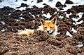Red Fox (7584190124).jpg