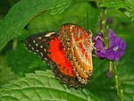 Red Lacewing - Cethosia biblis-12.JPG