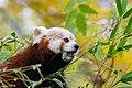 Red Panda (24677315298).jpg