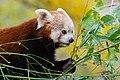 Red Panda (37661730765).jpg