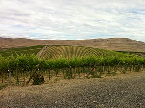 Red Willow Vineyard - The Ahtanum Ridge in the background behind the vines of Red Willow.